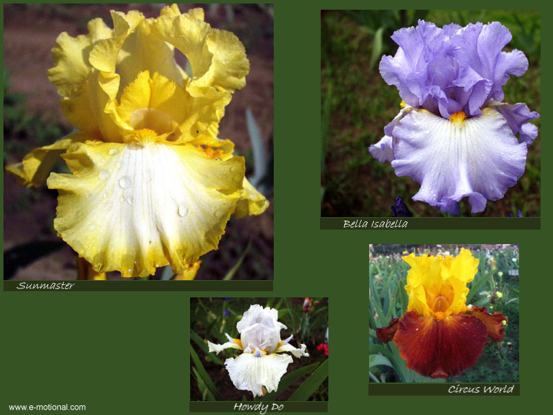 Beautiful Iris Screen Saver